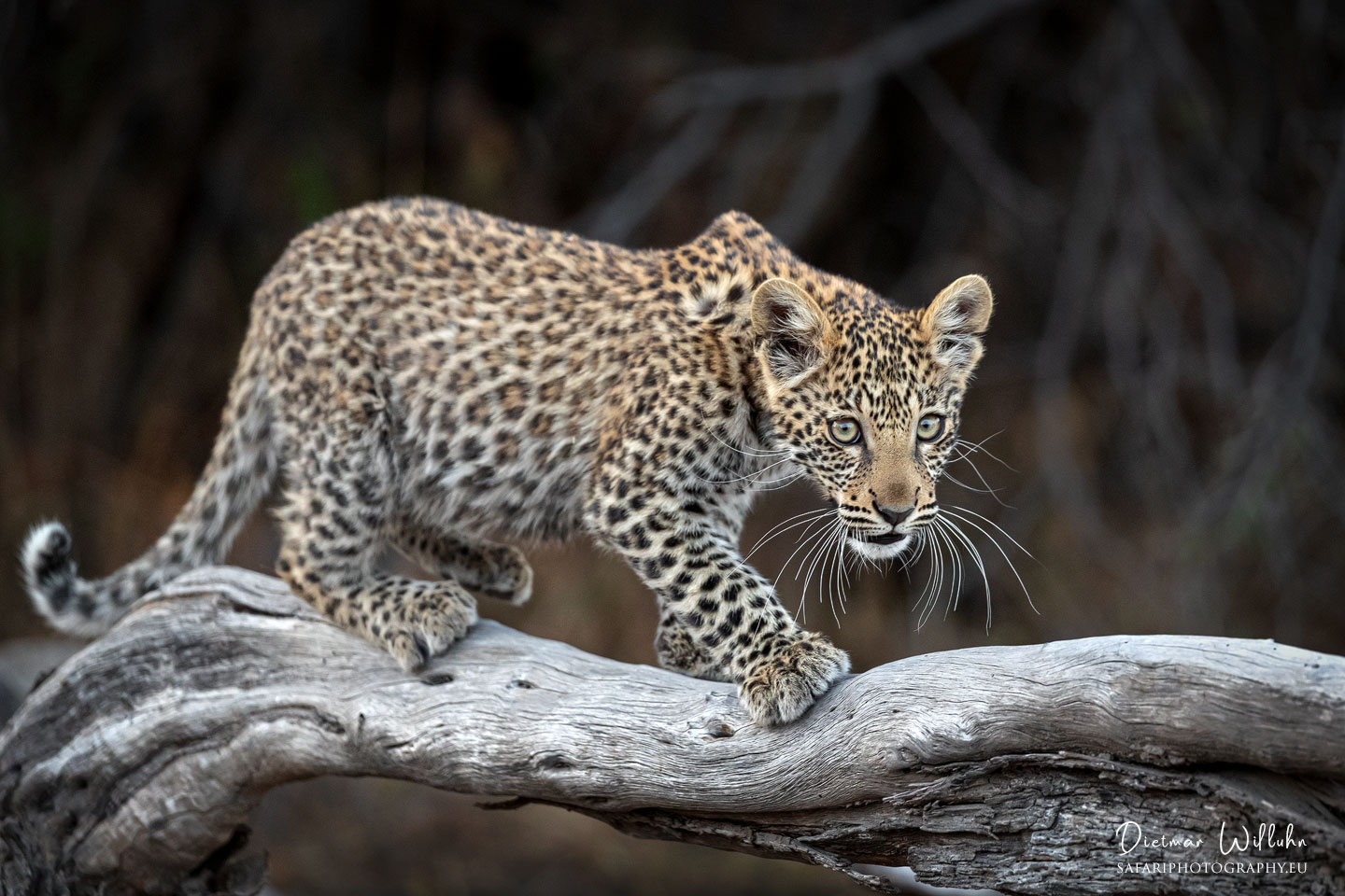 Leoparden Junges - Linyanti Game Reserve - Botswana