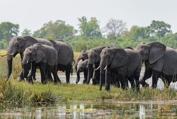 Elefanten - Botswana - Afrika