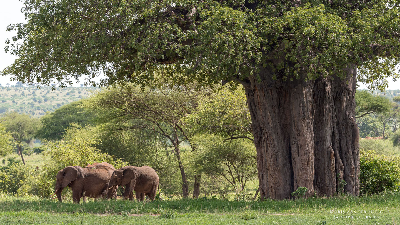 Tarangire - Tansania - Afrika
