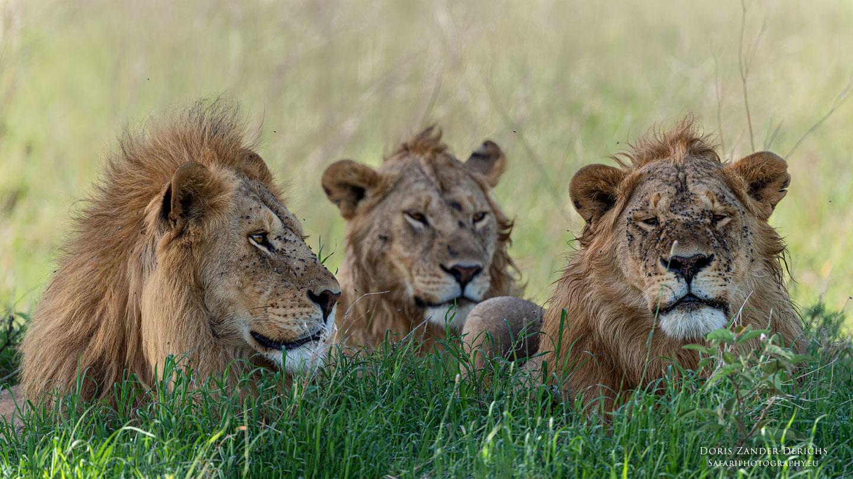 Löwen - Serengeti - Tansania - Afrika