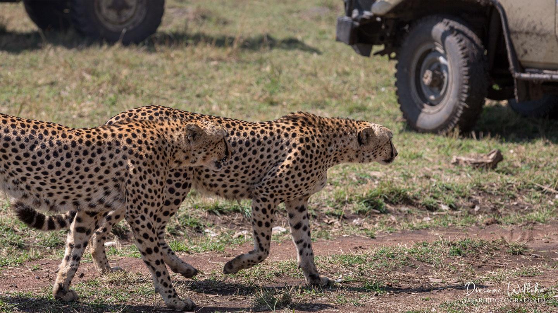 Geparden - Masai Mara - Kenia