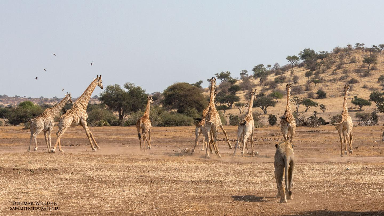 Löwe jagd Giraffen - Botswana