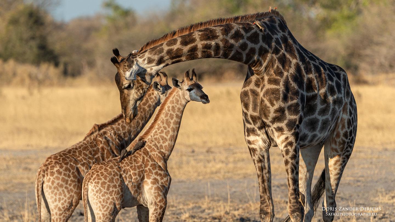 Giraffen Familie - Botswana
