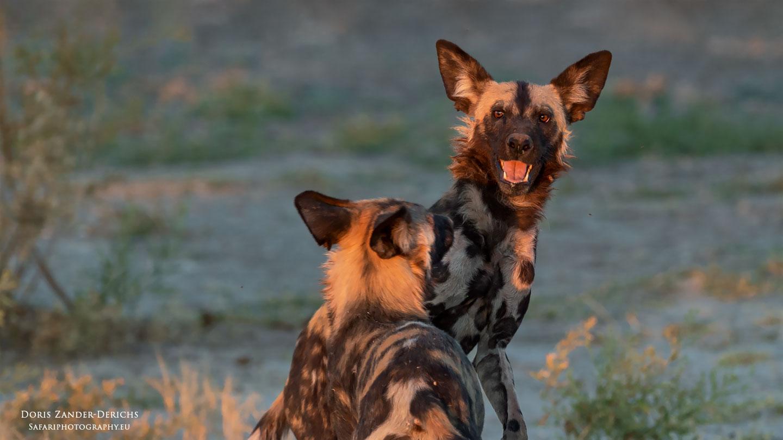 Wildhunde - Moremi - Botswana