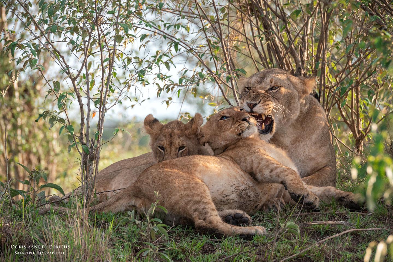 Löwen - Masai Mara - Kenia
