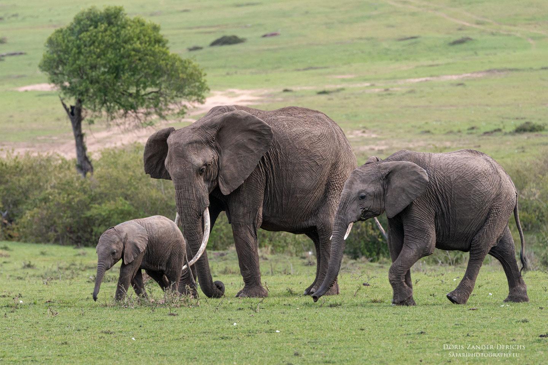 Elefanten - Masai Mara - Kenia