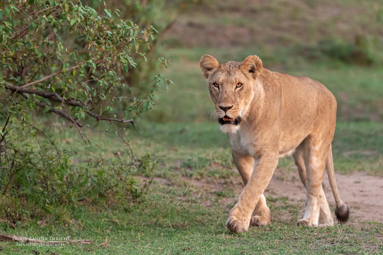 Löwe - Masai Mara - Kenia
