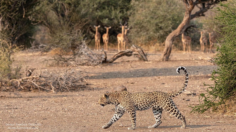 Leopard - Mashatu - Botswana